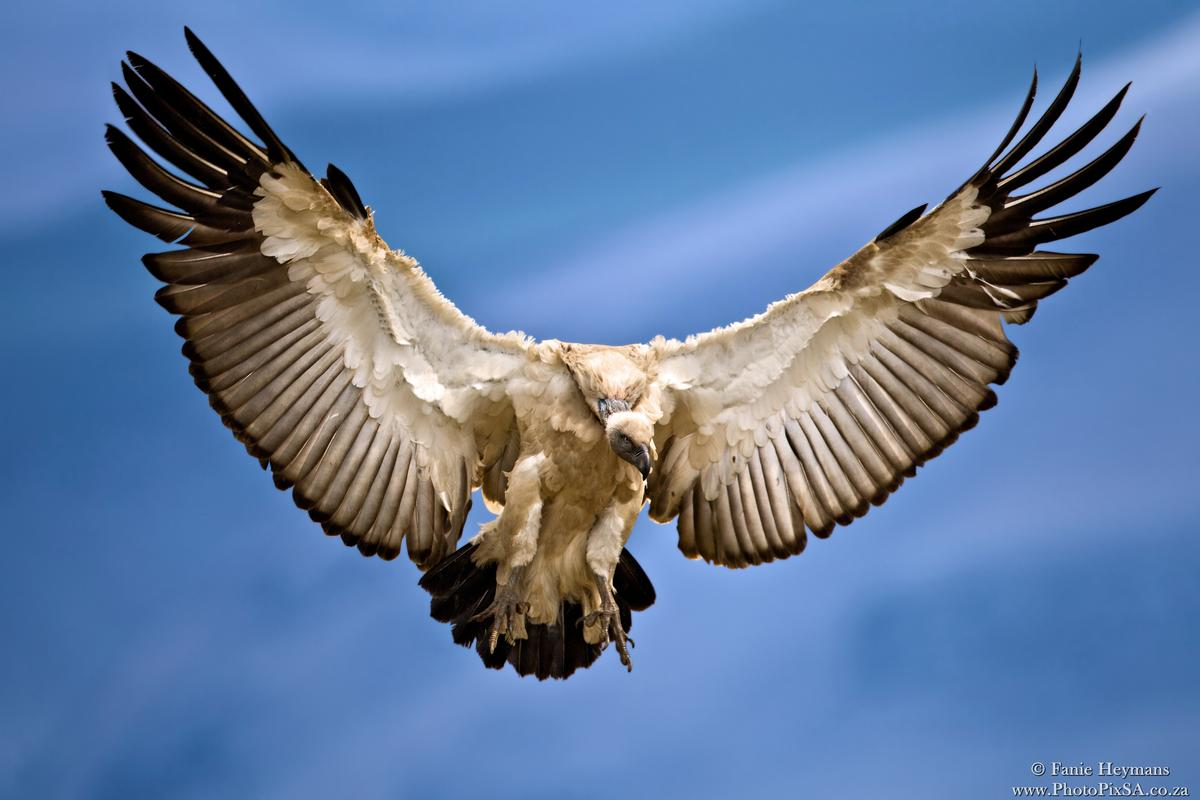 Cape Vulture with spread Wings