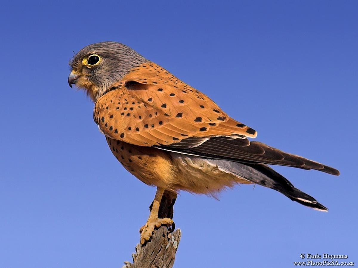 Lesser Kestrel Falcon