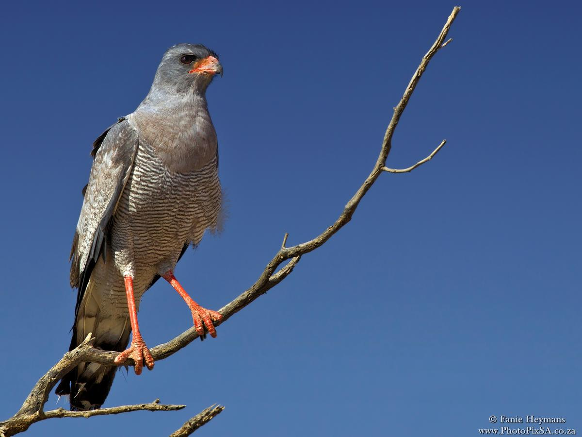 Pale Chanting Goshawk on perch