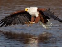 African Fish Eagle going in for the kill