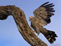 African Harrier Hawk searching for food