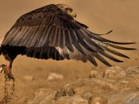 Bateleur eagle take off