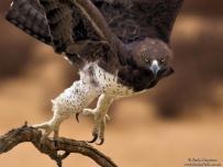 Martial Eagle mean vicious look