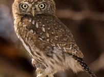 Pearl Spotted Owl Portrait