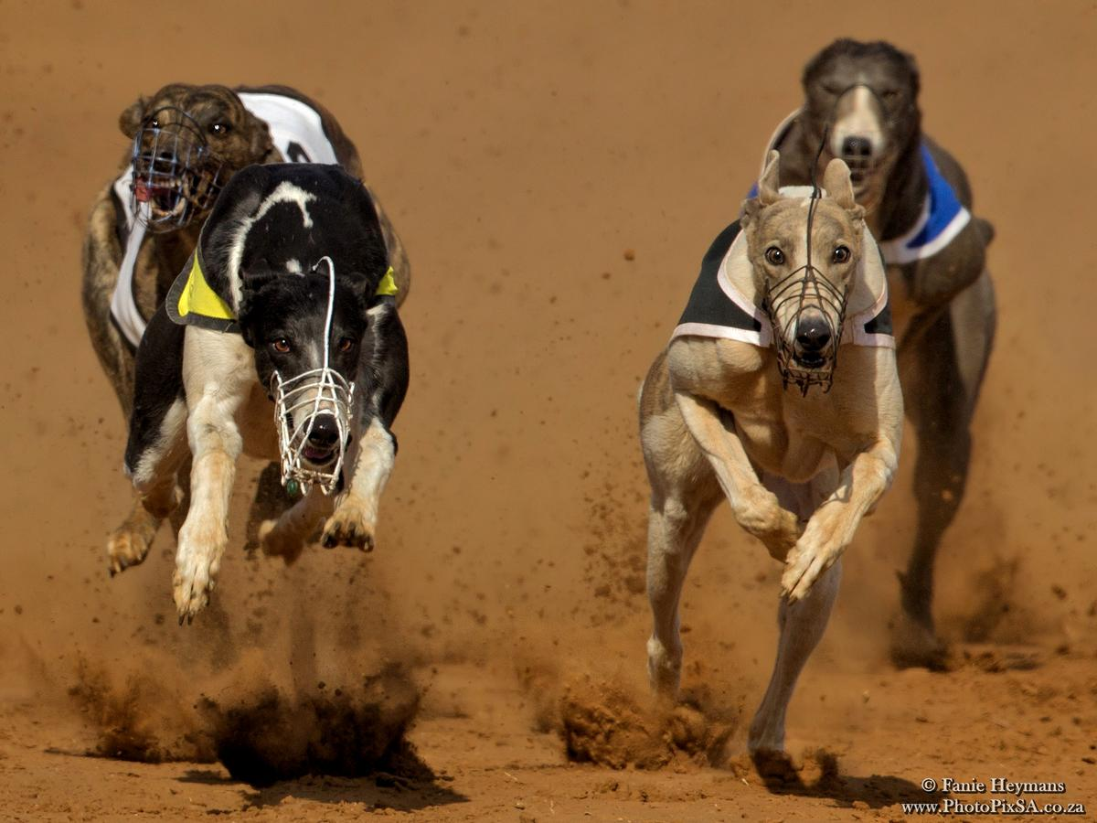 Greyhound making a lot of dust