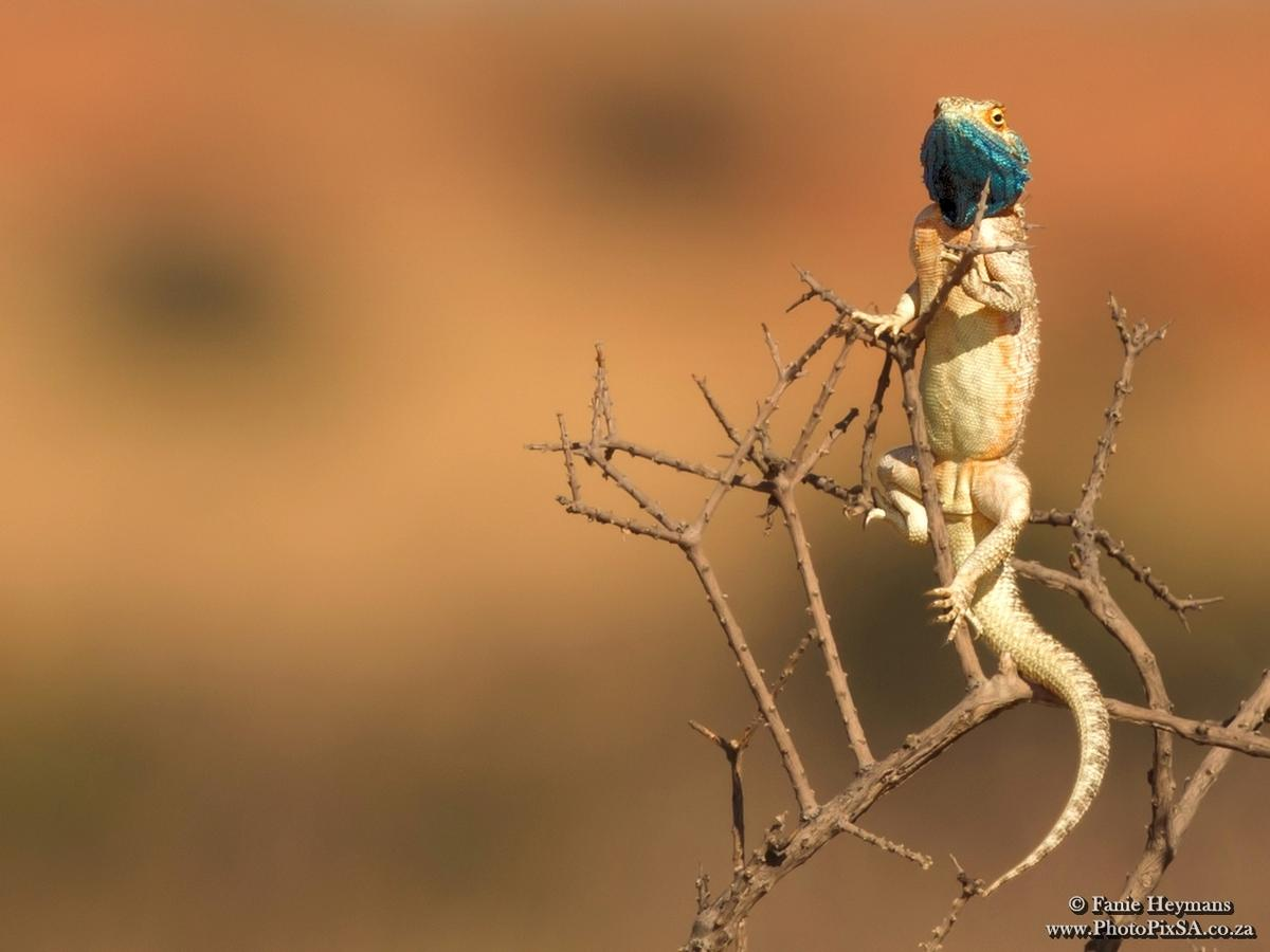 Blue Headed Tree Agama on top of a bush spying the surrounds