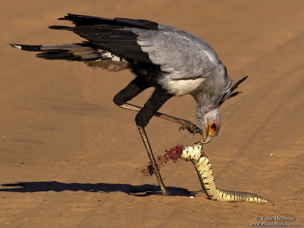 Secretary bird eating Puff Adder snake for breakfast