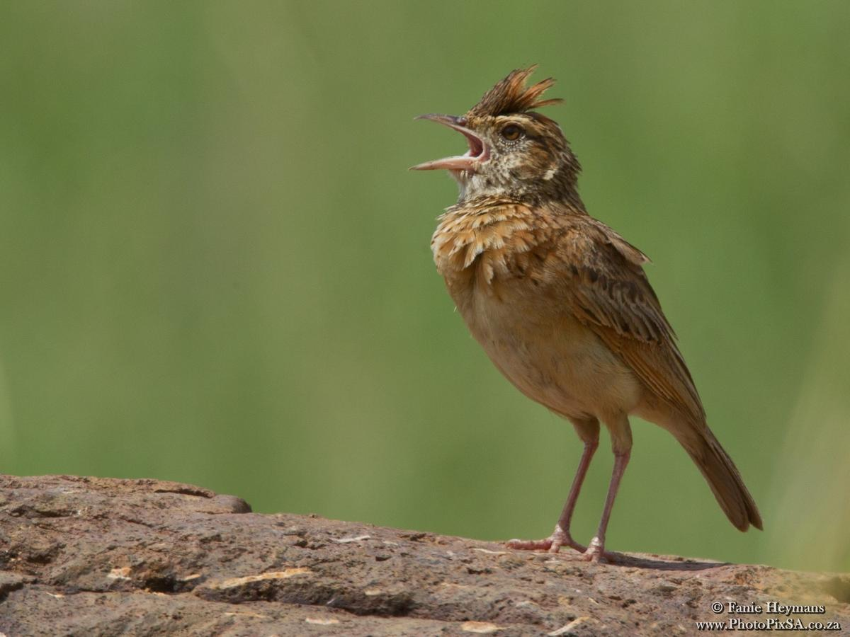 Stark's Lark on rock singing
