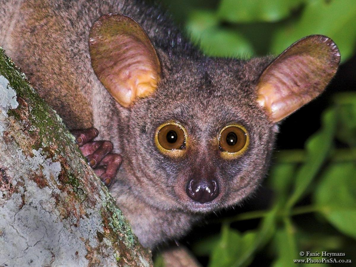 Bushbaby Portrait at St-Lucia