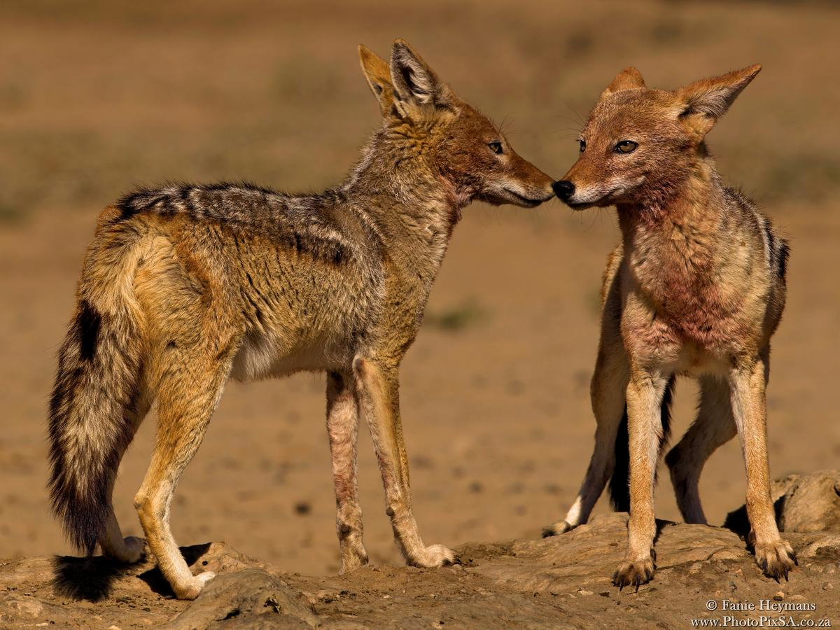 Black-backed Jackals interaction