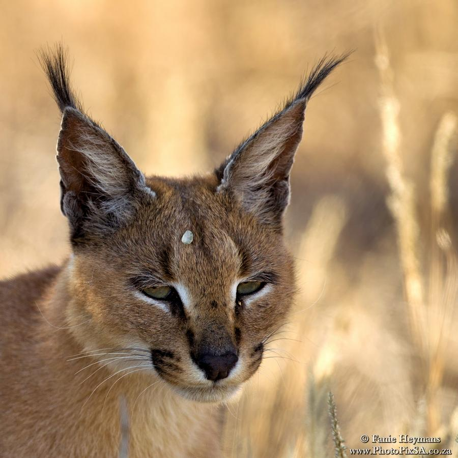 Caracal Portrait in Kgalagadi