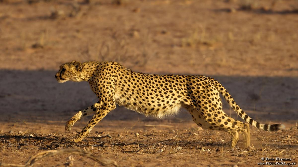Cheetah picking up speed