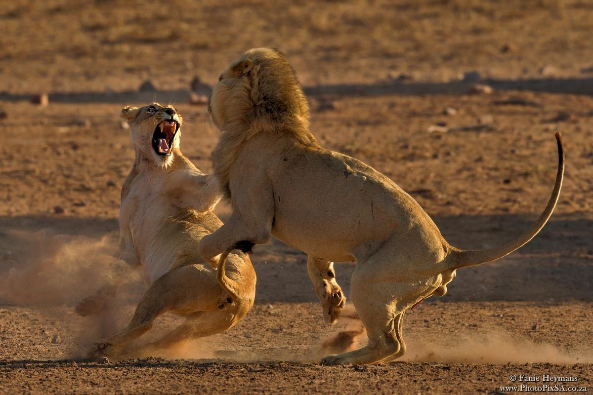 Lion Mating Fight