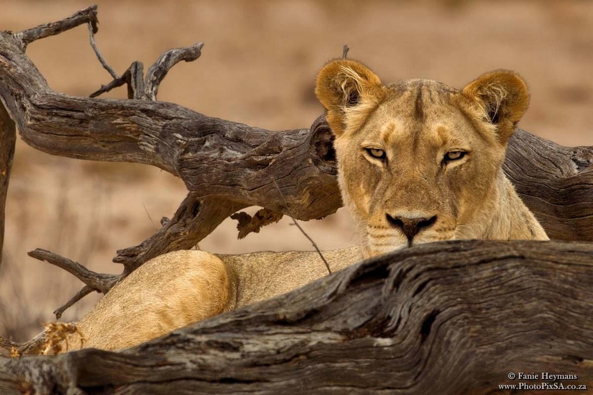 lioness watching from behinda tree