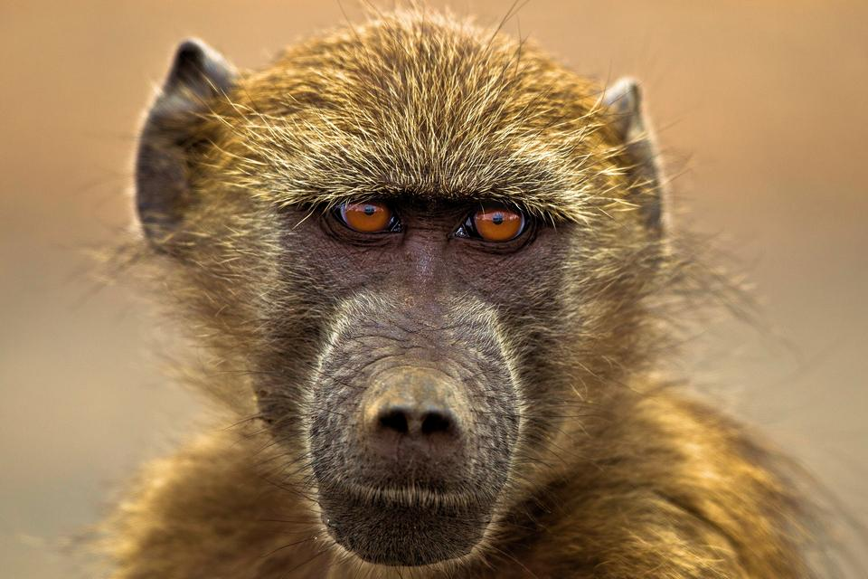 Chacma baboons portrait