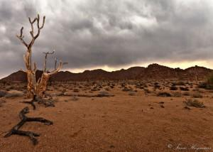 Richtersveld Northern Cape Dead Kokerboom, Aloe dichotoma, Quiver tree, Granite mountain, at Kokerboom Kloof. Clouds also adds to the mood of this photo.