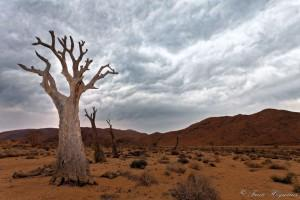No water no live. The quiver trees' situation highlighted the fact that climate change was having an impact on desert ecosystems