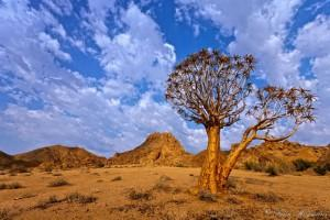 Richtersveld Northern Cape Quiver Tree duet. The branches and bark are used by Kalahari San Bushmen to make quivers for their arrows. Known as Choje to the indigenous San people