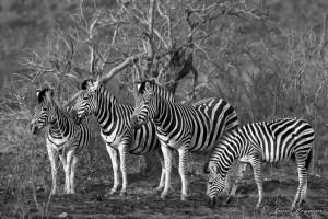 Vignetting photos Zebras are single-hoofed animals that are native to Africa. Zebras are very closely related to horses and donkeys; in fact, they are in the same genus, Equus. The most prominent feature of zebras is the bold patterns on their coats.