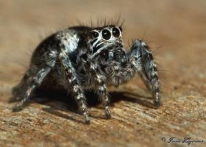 Richtersveld Northern Cape Jumping Spider taken at Hakkies Doring Base Camp, Richtersveld, Nothern Cape, South Africa