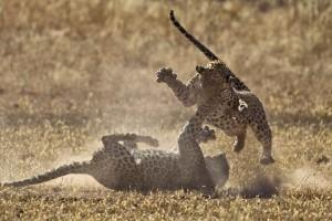 Leopard Fight with paws in the air and a lot of action